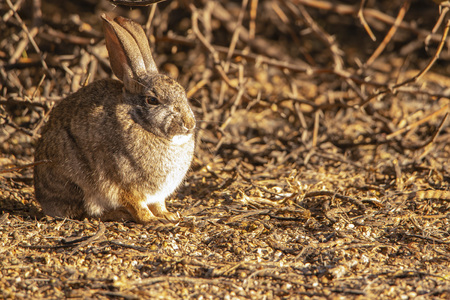 Cottontail rabbit warms itself in the morning sun.