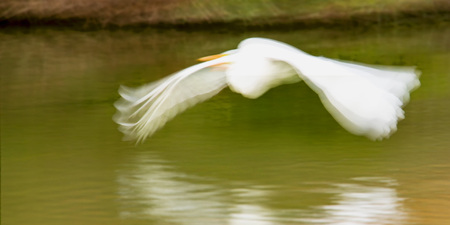 Great Egret (Ardea alba) is captured in flight and blurry motion.