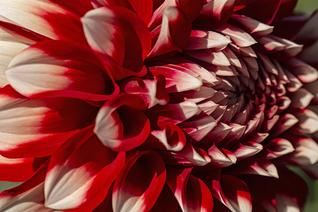 Red and White Dahlia closeup Stock Photo