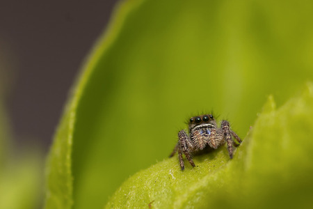 Macro image of a Jumping Spider (Salticidae)