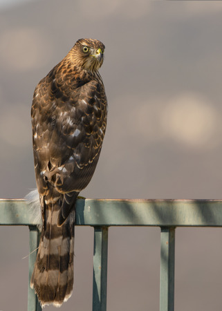 An immature Cooper's Hawk (Accipiter cooperii) perches on a suburban fence watching for prey. 免版税图像