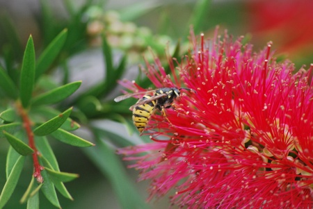 Wasp on Bottlebrush photo
