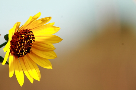 kansas: Wild Sunflower