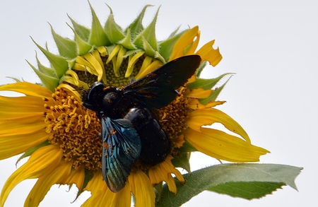 nectar: Bumble bee on a flower for nectar .