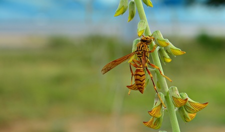 Hymenoptera and yellow flower  Hymenoptera like the flowers for food . Stock Photo