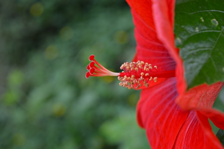 anthers: Red hibiscus Pollen hibiscus flower. Hibiscus bud waiting to bloom and insects to the human eye .