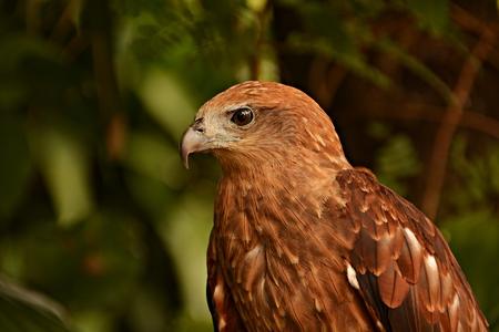 Falco berigora blur background.