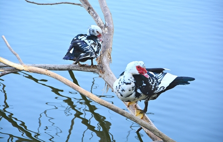 pato real: Ducks swim and standing on a branch. Natural backdrop