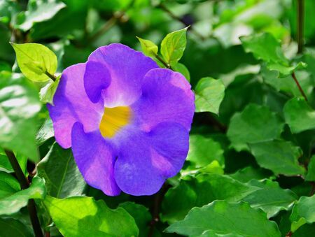 boasting: Purple Clock Vine are blossoming, boasting beauty in the morning, natural backdrop.