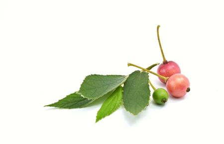 Flacourtiaceae on a white background