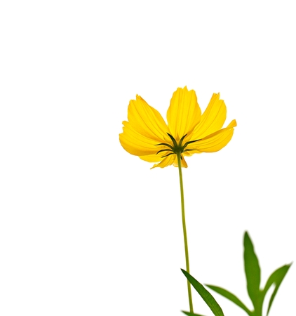 Yellow cosmos flower blooming on a white background. Stock Photo