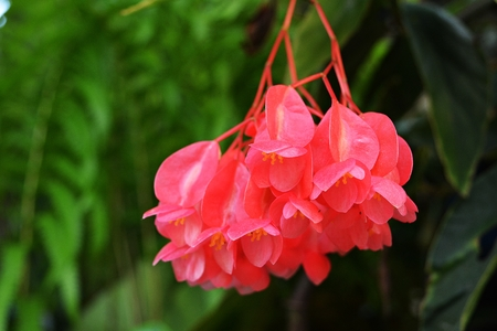 Pink fuchsia Japanese flowers are blooming on a natural backdrop.