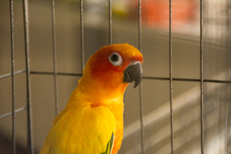 Sunconure parrot in the cage The background is a mesh cage blurred.