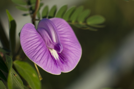 vigna: Purple flowers are blossoming into insect pests to pollinate.