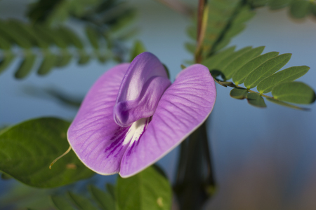 vigna: Purple wildflowers are beautiful blooming flowers, attracting insects, natural backgrounds and blurred.