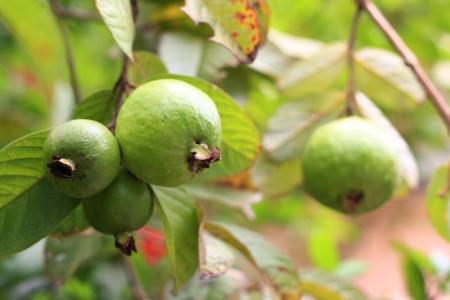 pile of guava fruit on nuture background Banco de Imagens - 19217307