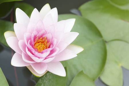 Pink lotus flower on water photo