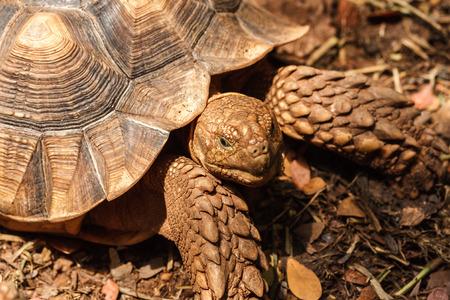 closeup of sulcata tortoise