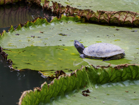 snapping turtle: freshwater turtle
