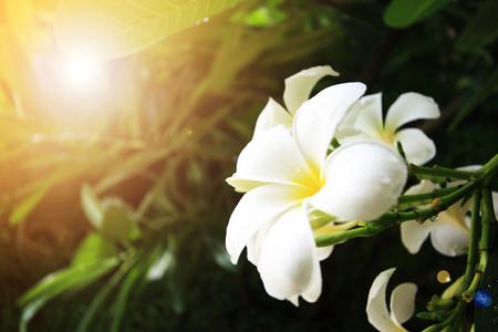 Close up of frangipani flower or Leelawadee flower