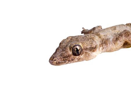 House lizard (Hemidactylus platyurus) isolated on white background Banco de Imagens
