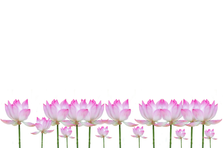 pink lotus flower isolated on white backgroud.