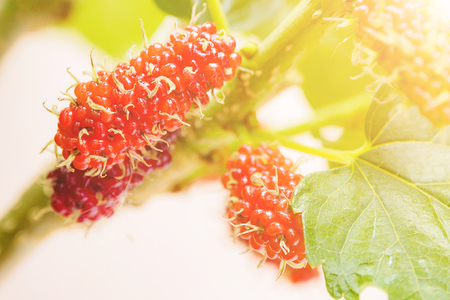 Fresh mulberry red unripe mulberries on the branch of tree.
