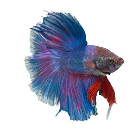 Siamese fighting fish,Half Moon long blue tail(HMPK),Betta splendens isolated on white background with clipping path.