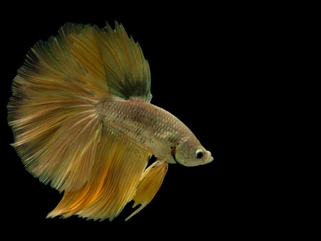 Siamese fighting fish,Half Moon long yellow tail(HMPK),Betta splendens isolated on black background with clipping path. Banco de Imagens - 101909232