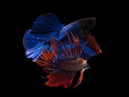 Siamese fighting fish,blue and red crown tail(CTPK),Betta splendens isolated on black background with clipping path.