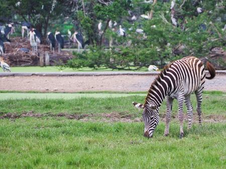 Zebra is feeding grass