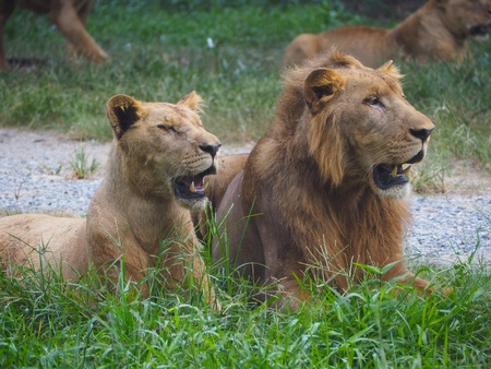 A pair of adult lions