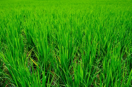 Ricefield photo