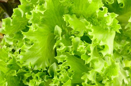 the fresh lettuce for background photo