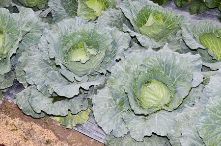 The head of green cabbage on bed photo