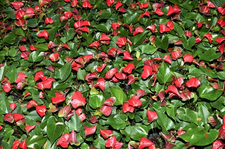 Closeup of several red anthurium andreanum  flamingo lily  photo