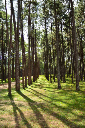 View of a Pine Plantation,Change Mai Thailand. photo