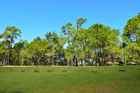 View of a Pine Plantation,Change Mai Thailand  photo