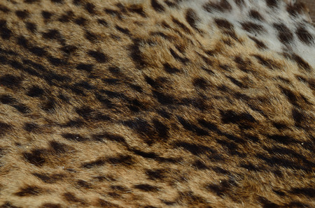 Background of close up pattern Leopard Skin