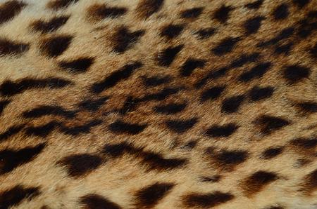mottle: Background of close up pattern Leopard Skin
