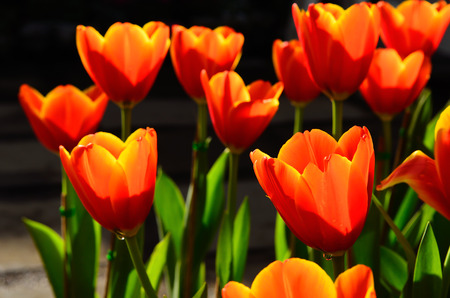 Background of colorful tulips in park. photo