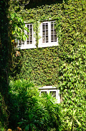 creeping plant: Green ivy surrounding the wall of a house