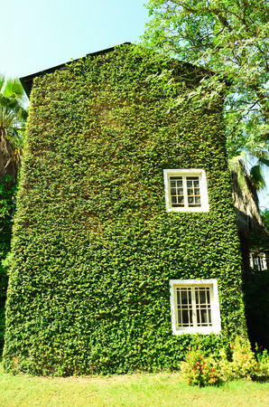 Green ivy surrounding the wall of a house