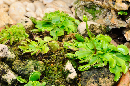 insectivorous plants: Venus Flytrap or Carnivorous plant close up in the botanical garden Stock Photo