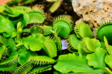 Venus Flytrap or Carnivorous plant close up in the botanical garden Stock Photo