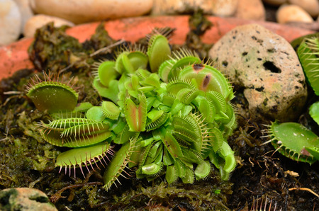 insectivorous: Venus Flytrap or Carnivorous plant close up in the botanical garden Stock Photo