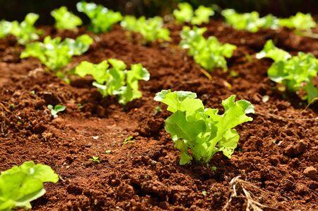 lechuga: Filas de pequeñas plantas de lechuga en un campo
