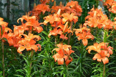 Lilium is a genus of herbaceous flowering plants growing from bulbs