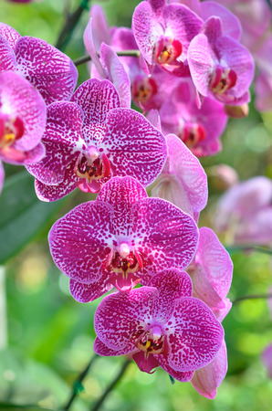 orchidaceae: Orchidaceae is a diverse and widespread family of flowering plants, with blooms that are often colourful and often fragrant