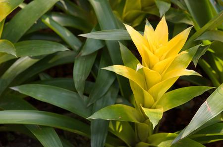 plants species: Il Bromeliaceae sono una famiglia di piante da fiore monocot di circa 3.170 specie Archivio Fotografico